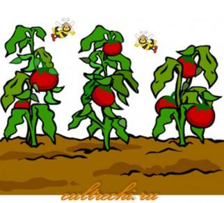 Рассада помидоров